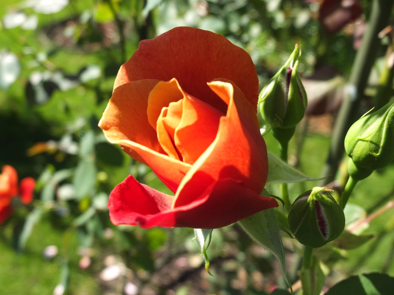 #plantroses